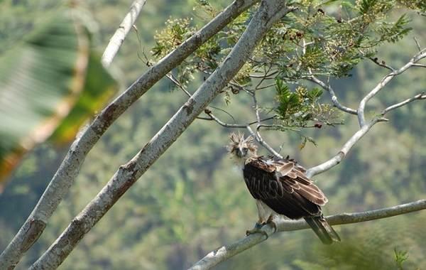 Гарпия-птица-Описание-особенности-виды-образ-жизни-и-среда-обитания-гарпии-4