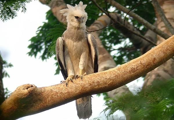 Гарпия-птица-Описание-особенности-виды-образ-жизни-и-среда-обитания-гарпии-5
