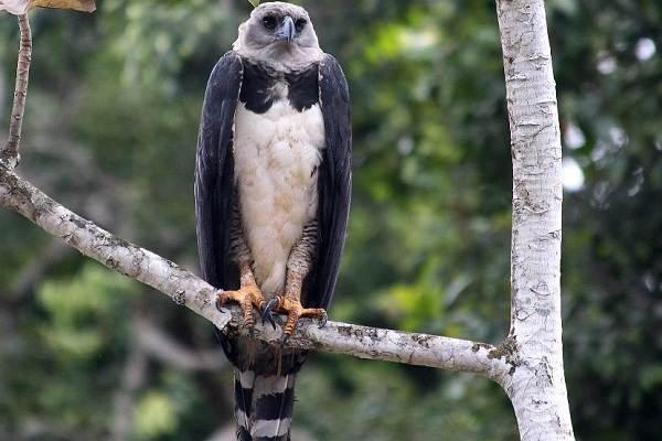 Гарпия-птица-Описание-особенности-виды-образ-жизни-и-среда-обитания-гарпии-6