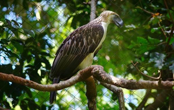 Гарпия-птица-Описание-особенности-виды-образ-жизни-и-среда-обитания-гарпии-7