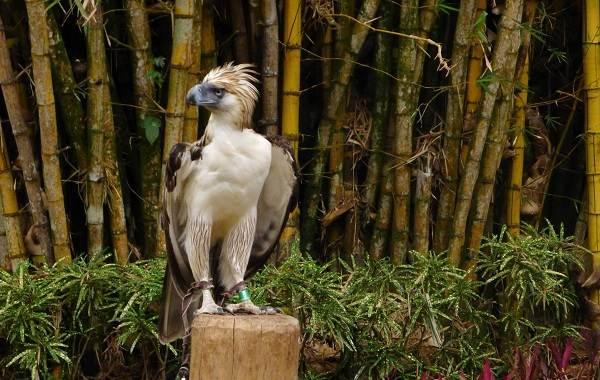 Гарпия-птица-Описание-особенности-виды-образ-жизни-и-среда-обитания-гарпии-8