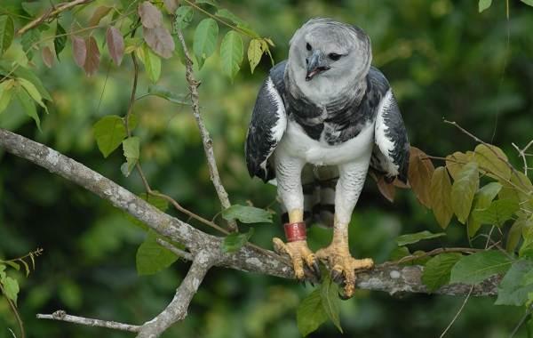 Гарпия-птица-Описание-особенности-виды-образ-жизни-и-среда-обитания-гарпии-9