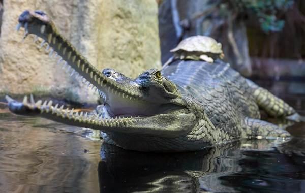 Гавиал-крокодил-Описание-особенности-виды-образ-жизни-и-среда-обитания-гавиала-10