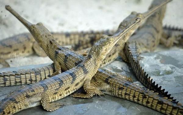Гавиал-крокодил-Описание-особенности-виды-образ-жизни-и-среда-обитания-гавиала-11
