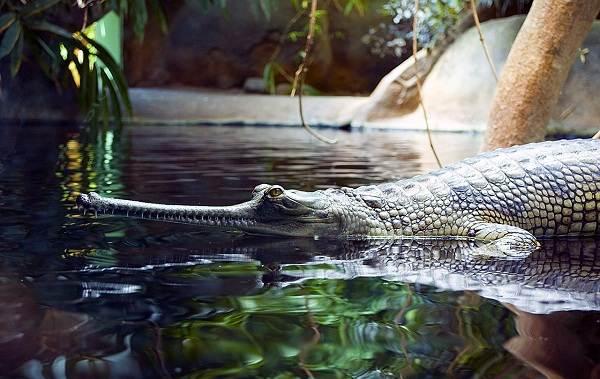 Гавиал-крокодил-Описание-особенности-виды-образ-жизни-и-среда-обитания-гавиала-12