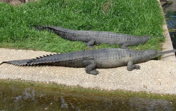 Гавиал-крокодил-Описание-особенности-виды-образ-жизни-и-среда-обитания-гавиала-13
