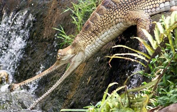 Гавиал-крокодил-Описание-особенности-виды-образ-жизни-и-среда-обитания-гавиала-15