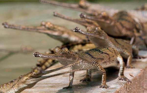 Гавиал-крокодил-Описание-особенности-виды-образ-жизни-и-среда-обитания-гавиала-16