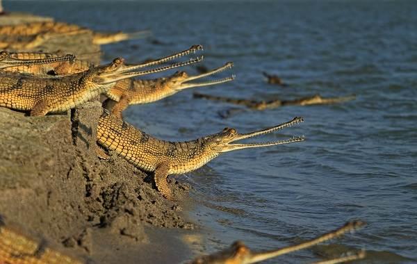 Гавиал-крокодил-Описание-особенности-виды-образ-жизни-и-среда-обитания-гавиала-17