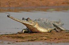 Гавиал крокодил. Описание, особенности, виды, образ жизни и среда обитания гавиала