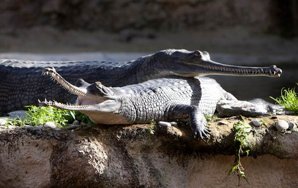 Гавиал-крокодил-Описание-особенности-виды-образ-жизни-и-среда-обитания-гавиала-8