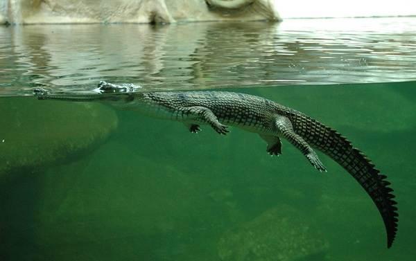 Гавиал-крокодил-Описание-особенности-виды-образ-жизни-и-среда-обитания-гавиала-9