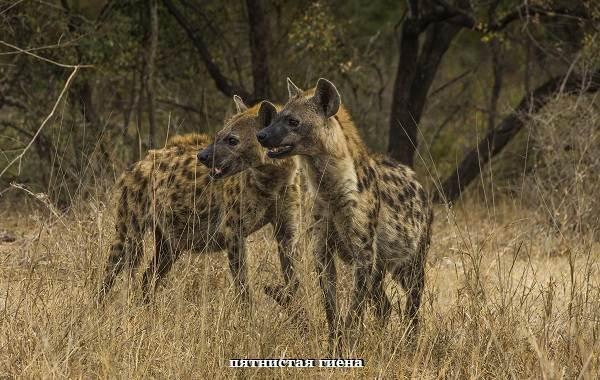 Гиена-животное-Описание-особенности-виды-образ-жизни-и-среда-обитания-гиены-1