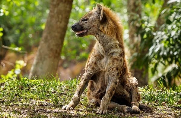 Гиена-животное-Описание-особенности-виды-образ-жизни-и-среда-обитания-гиены-10