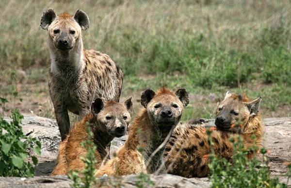 Гиена-животное-Описание-особенности-виды-образ-жизни-и-среда-обитания-гиены-13