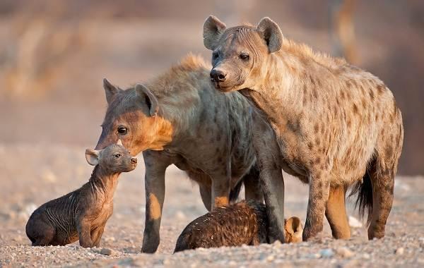 Гиена-животное-Описание-особенности-виды-образ-жизни-и-среда-обитания-гиены-15