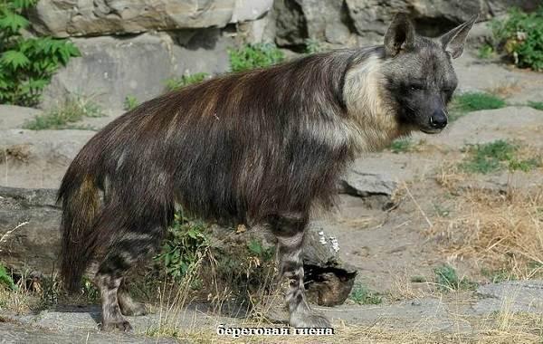 Гиена-животное-Описание-особенности-виды-образ-жизни-и-среда-обитания-гиены-2