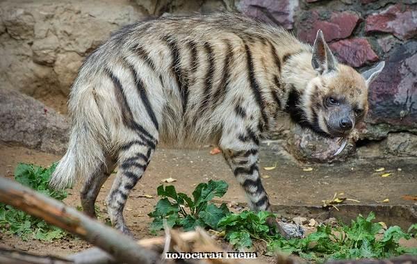 Гиена-животное-Описание-особенности-виды-образ-жизни-и-среда-обитания-гиены-3