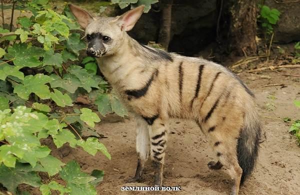 Гиена-животное-Описание-особенности-виды-образ-жизни-и-среда-обитания-гиены-4