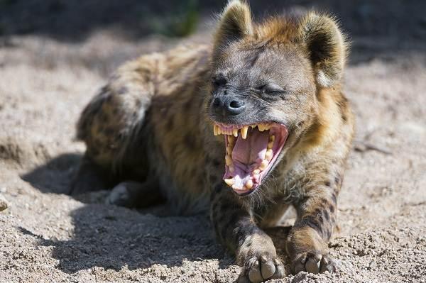 Гиена-животное-Описание-особенности-виды-образ-жизни-и-среда-обитания-гиены-5