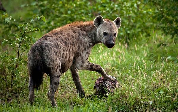 Гиена-животное-Описание-особенности-виды-образ-жизни-и-среда-обитания-гиены-6