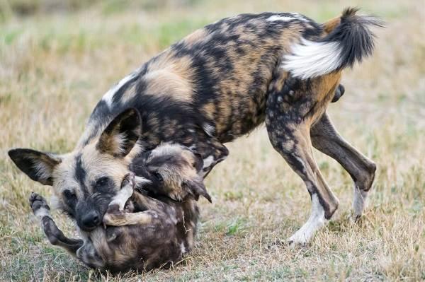 Гиеновая-собака-Описание-особенности-виды-образ-жизни-и-среда-обитания-гиеновой-собаки-10