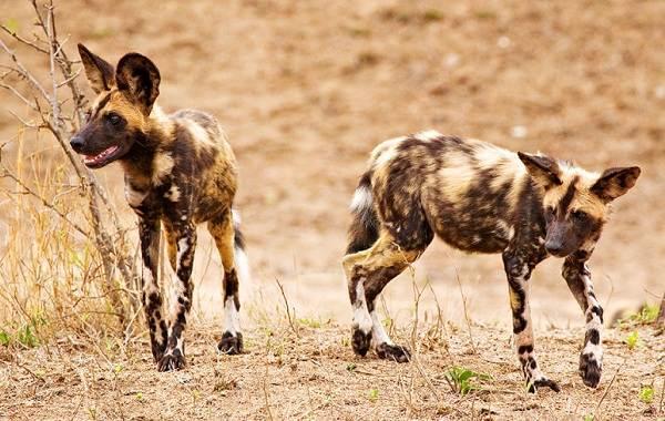 Гиеновая-собака-Описание-особенности-виды-образ-жизни-и-среда-обитания-гиеновой-собаки-3