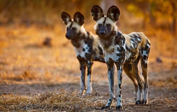 Гиеновая-собака-Описание-особенности-виды-образ-жизни-и-среда-обитания-гиеновой-собаки-4