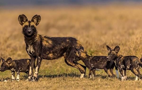 Гиеновая-собака-Описание-особенности-виды-образ-жизни-и-среда-обитания-гиеновой-собаки-6