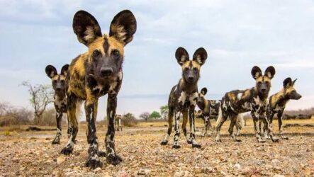 Гиеновая собака. Описание, особенности, виды, образ жизни и среда обитания гиеновой собаки
