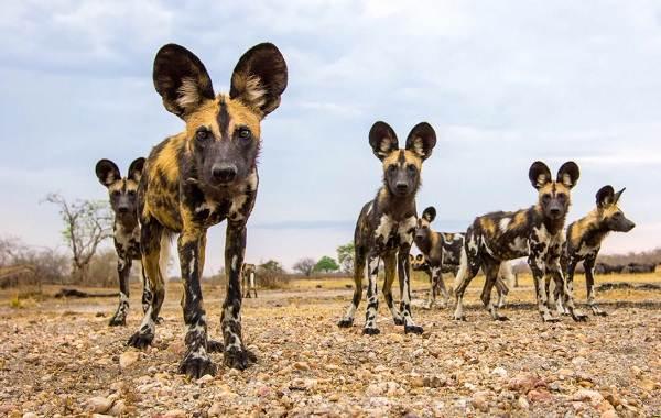 Гиеновая-собака-Описание-особенности-виды-образ-жизни-и-среда-обитания-гиеновой-собаки-7