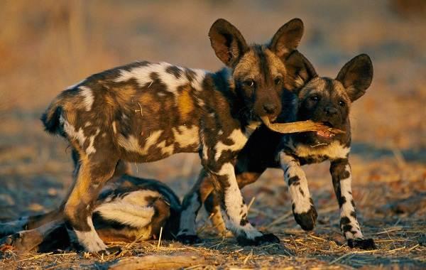 Гиеновая-собака-Описание-особенности-виды-образ-жизни-и-среда-обитания-гиеновой-собаки-9