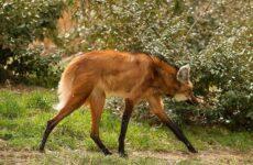 Гривистый волк. Описание, особенности, виды, образ жизни и среда обитания животного