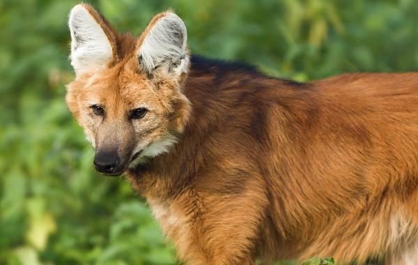 Гривистый-волк-Описание-особенности-виды-образ-жизни-и-среда-обитания-животного-10