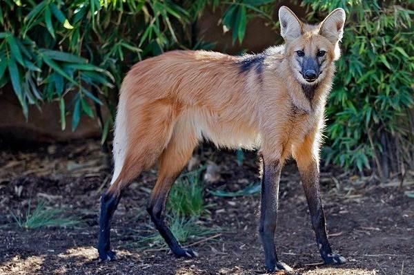 Гривистый-волк-Описание-особенности-виды-образ-жизни-и-среда-обитания-животного-11
