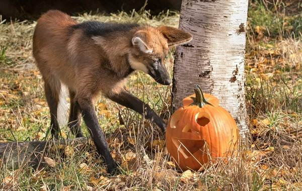 Гривистый-волк-Описание-особенности-виды-образ-жизни-и-среда-обитания-животного-12