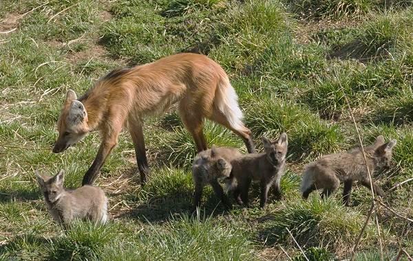 Гривистый-волк-Описание-особенности-виды-образ-жизни-и-среда-обитания-животного-13