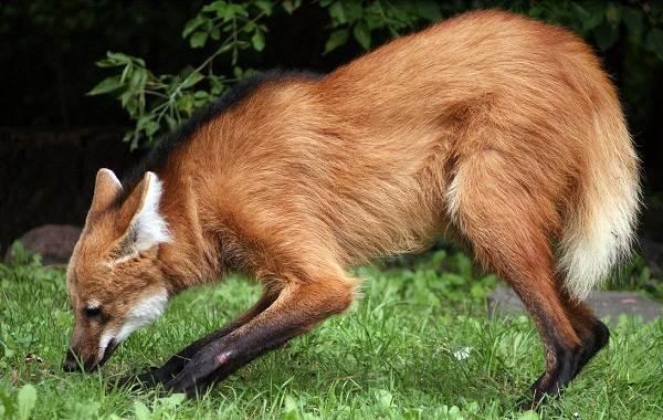 Гривистый-волк-Описание-особенности-виды-образ-жизни-и-среда-обитания-животного-2