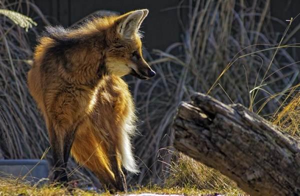 Гривистый-волк-Описание-особенности-виды-образ-жизни-и-среда-обитания-животного-3