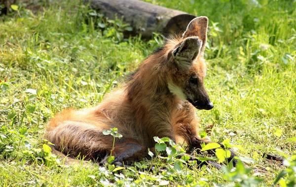 Гривистый-волк-Описание-особенности-виды-образ-жизни-и-среда-обитания-животного-4
