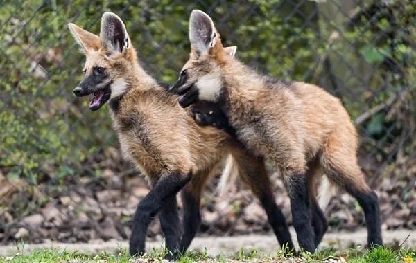 Гривистый-волк-Описание-особенности-виды-образ-жизни-и-среда-обитания-животного-5