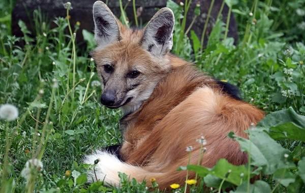 Гривистый-волк-Описание-особенности-виды-образ-жизни-и-среда-обитания-животного-6