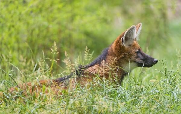 Гривистый-волк-Описание-особенности-виды-образ-жизни-и-среда-обитания-животного-7