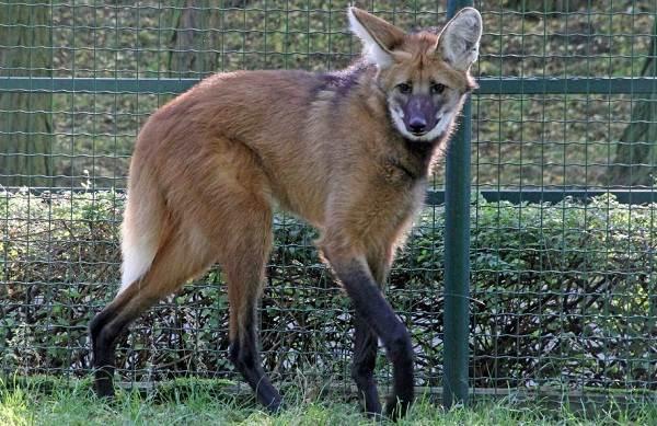 Гривистый-волк-Описание-особенности-виды-образ-жизни-и-среда-обитания-животного-8