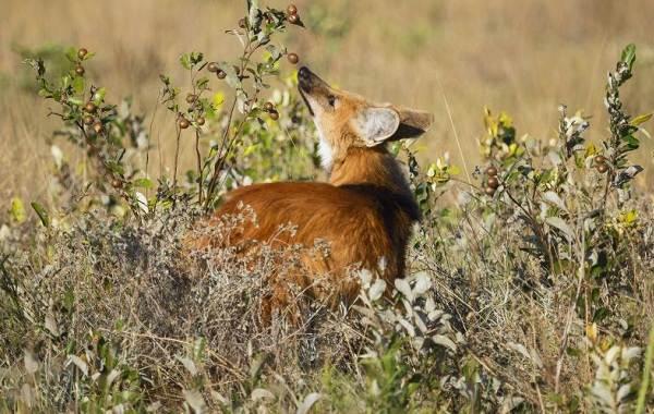 Гривистый-волк-Описание-особенности-виды-образ-жизни-и-среда-обитания-животного-9