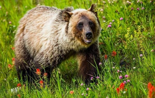 Гризли-медведь-Описание-особенности-виды-образ-жизни-и-среда-обитания-гризли-1
