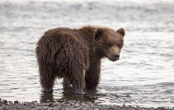 Гризли-медведь-Описание-особенности-виды-образ-жизни-и-среда-обитания-гризли-10