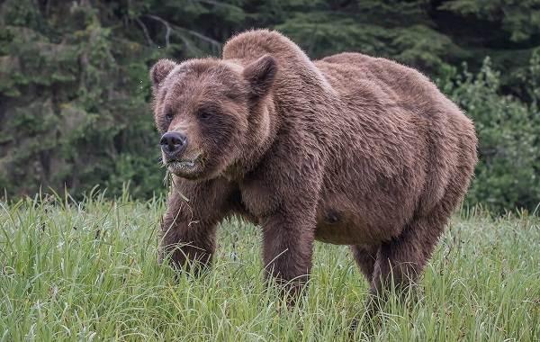 Гризли-медведь-Описание-особенности-виды-образ-жизни-и-среда-обитания-гризли-12