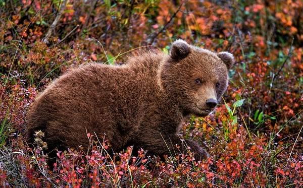 Гризли-медведь-Описание-особенности-виды-образ-жизни-и-среда-обитания-гризли-13
