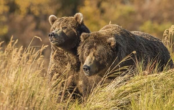 Гризли-медведь-Описание-особенности-виды-образ-жизни-и-среда-обитания-гризли-14